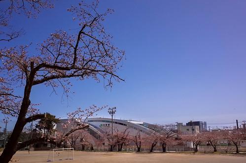 内野の桜 2015