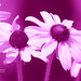 Pinker than Pink by ☺♥ julev69 ♥☺ 1,400,000+ Views- THANK YOU!
