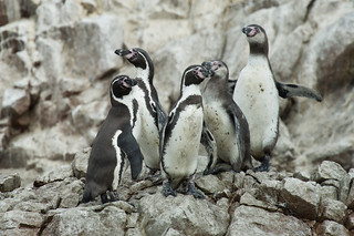 Humboldtpinguine, Islas Ballestas - Paracas | Roland Krinner