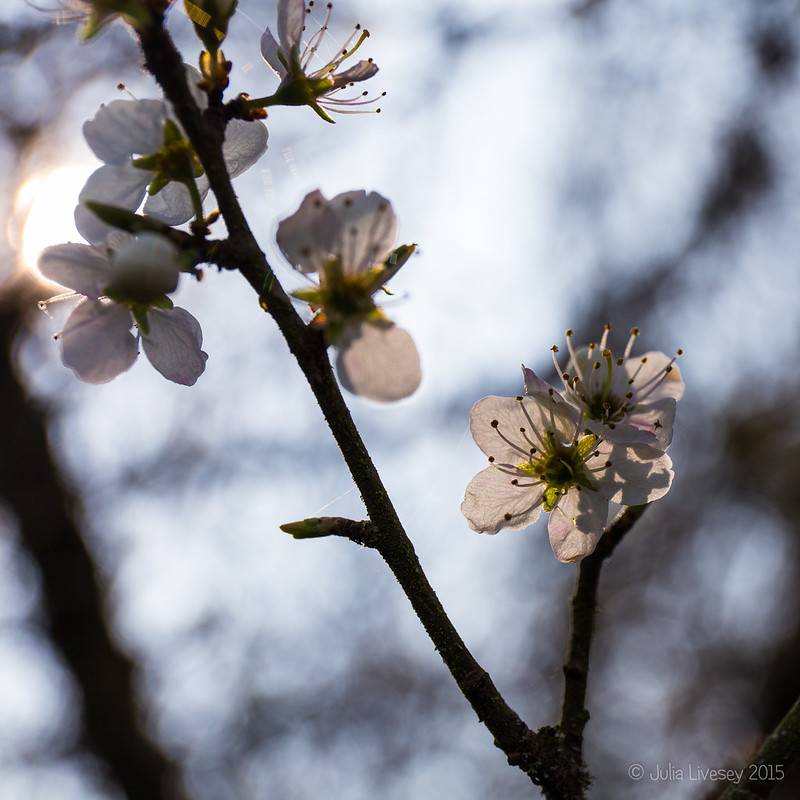 Hawthorn Blosson