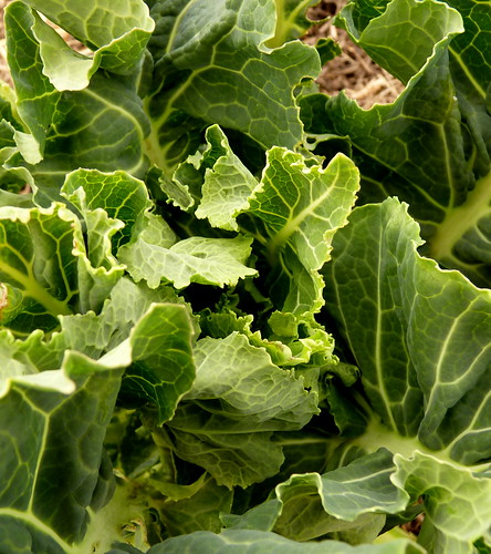 Nine Star perennial broccoli hearting up
