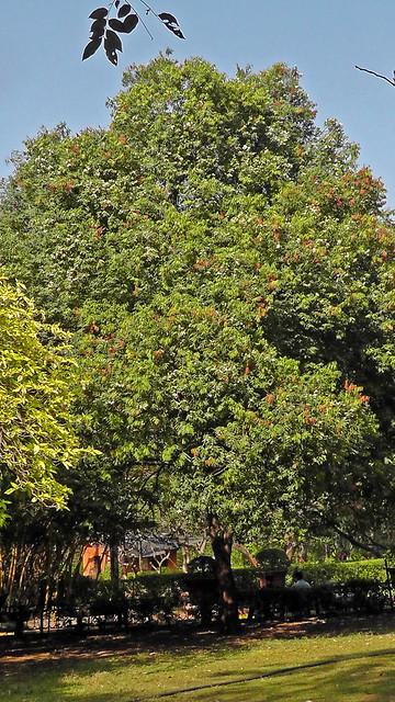 Nagkesar tree_नागकेसर_Mesua ferrea_Clusiaceae_Rani Bagh_March 2015
