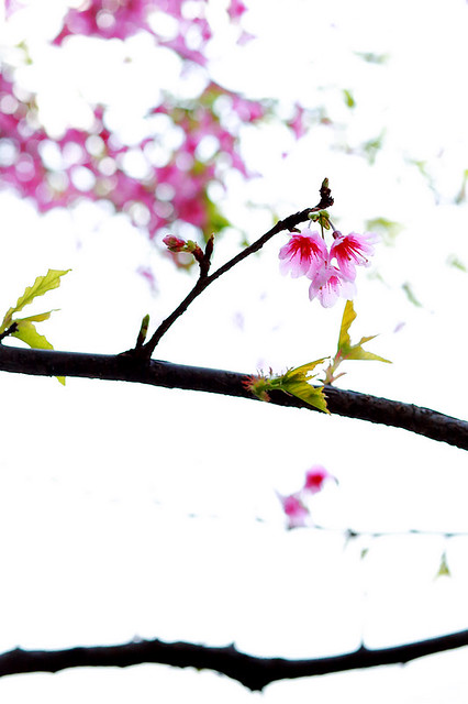 2015隨拍櫻花 (10)
