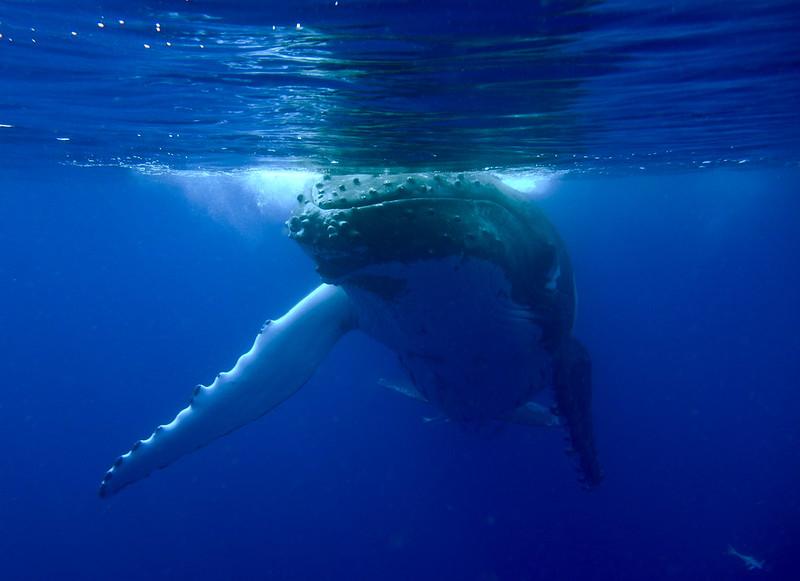 Humpback Whale-Megaptera novaeangliae