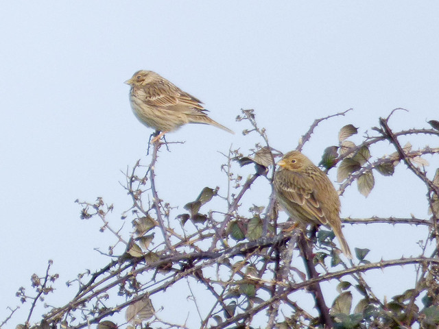 Corn Buntings at Capel Fleet
