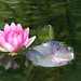 pink water lily, Chinese Garden, The Huntington by Karol Franks