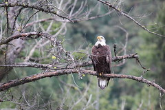 Raptors - Eagles, Hawks, Falcons, Osprey