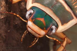 Great diving beetle (Dytiscus marginalis) female, detail of the head