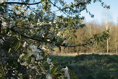 Wildkirsche Blüten