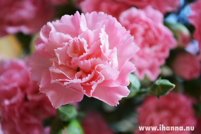 Celebrating Life: Pink birthday flowers photo by iHanna #carnations