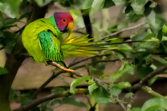 plum headed parakeet at twycross
