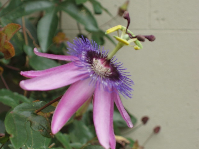 200908300526_purple-passionflower