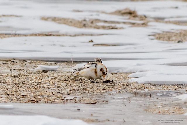 Snow Bunting foraging