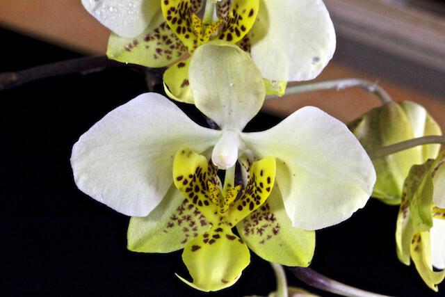 Phalaenopsis stuartiana v.nobilis 16625982879_1425aa687a_z
