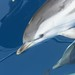 Striped dolphins - photo by Tethys Research Institute