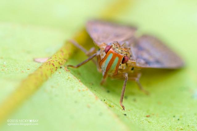 Planthopper (Tropiduchidae) - DSC_4567