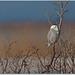Snowy Owl by BN Singh