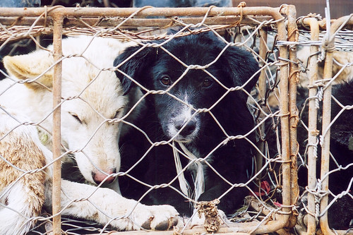 The sad black dog in cage at a China's dog market, 2011