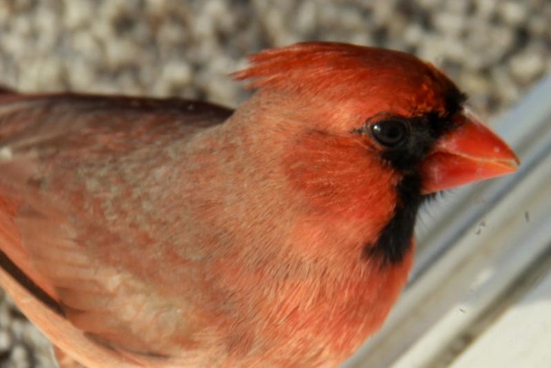 cardinal (6)