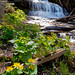Marsh Marigolds at Wagner Falls in the Upper Peninsula. by Craig - S