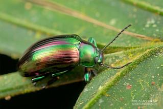Emerald darkling beetle (Tenebrionidae) - DSC_5068