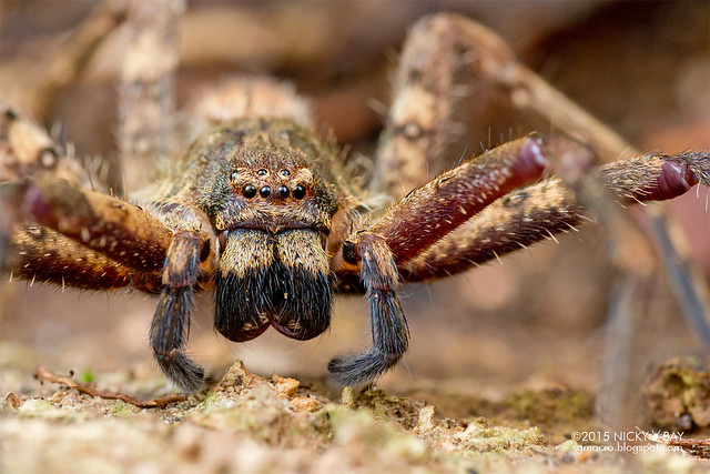 Huntsman spider (Sparassidae) - DSC_5228