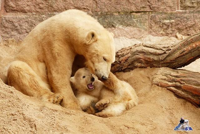Zoo Rostock Eisbären 28.03.2015  71