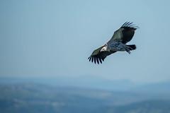 Vulture over Oribi