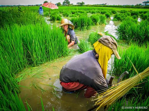 rural canon women rice paddy farmers philippines ixus planting pangasinan herrero bugallon jimrey