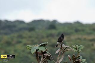 The pied bush chat (Saxicola caprata)