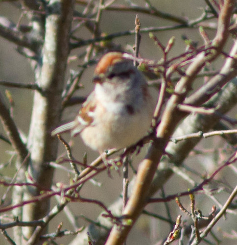 Late Tree Sparrow