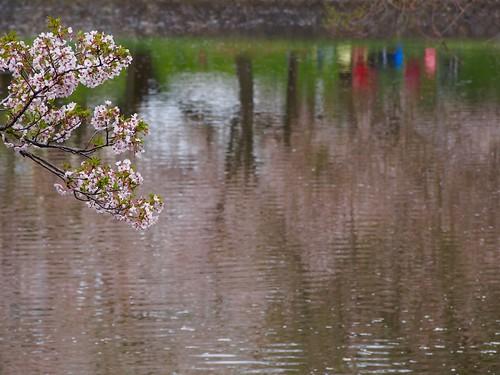 reflection tree water japan cherry spring blossom 桜 日本 sakura 花 木 yamagata 水 山形 春 tsuruoka 鶴岡 wavelets 反射 お堀 さざなみ