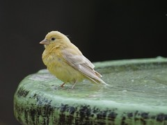 Leucistic Goldfinch