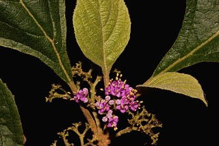 Callicarpa brevistyla