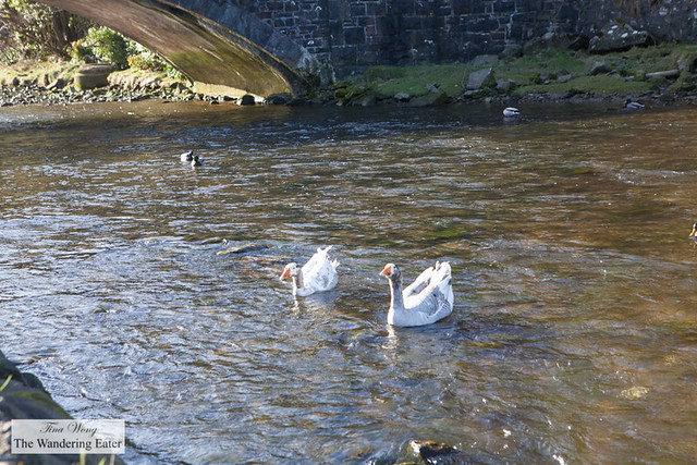 Ducks and swans trying to swim against the current of River Gwaun