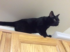 Martha #cat atop the kitchen cabinets