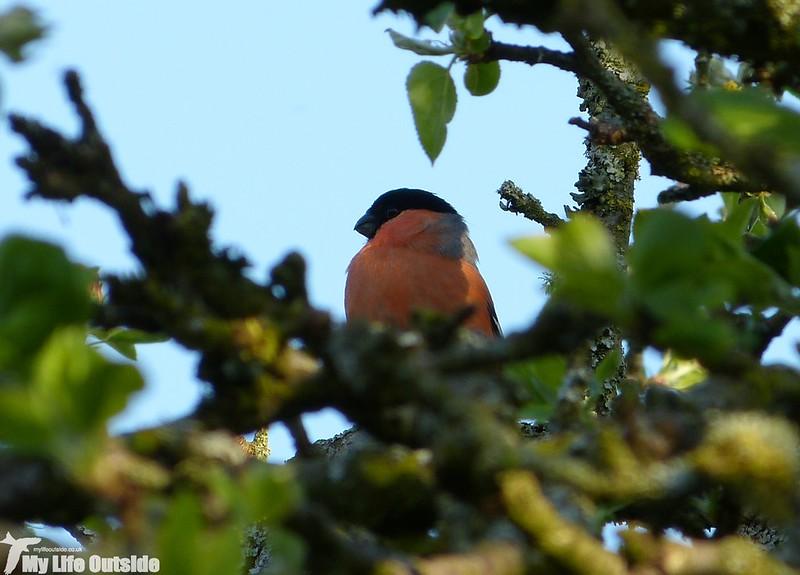P1120475 - Bullfinch