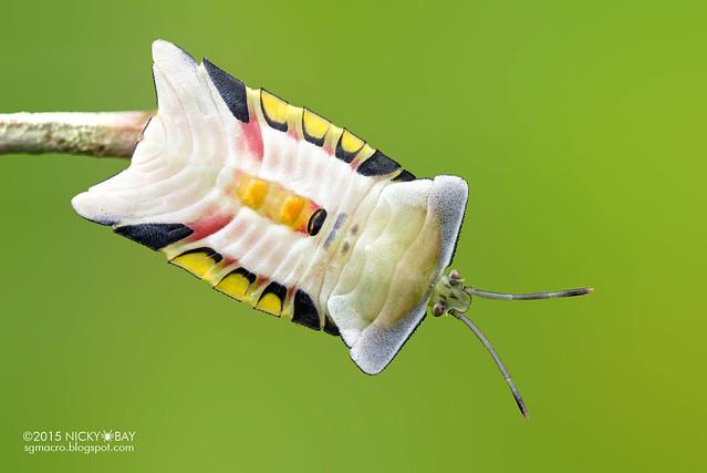 Giant shield bug (Tessaratomidae) - DSC_3143