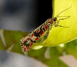 Utetheisa cruentata. Arctiidae