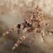 Jumping Spider (Salticidae) - prob Tara sp. by iainrmacaulay