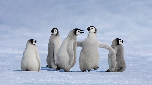 _Emperor_penguin_chicks_in_Antarctica____Jan_VermeerMinden_Pictures______Bing_United_States_.jpg