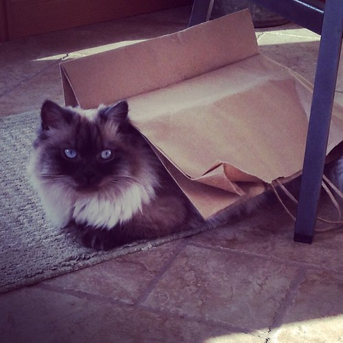 Denis, my parents' cat, likes to hang out under a paper bag. #cat #kalispell #montana