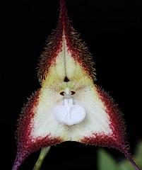 Dracula cordobae