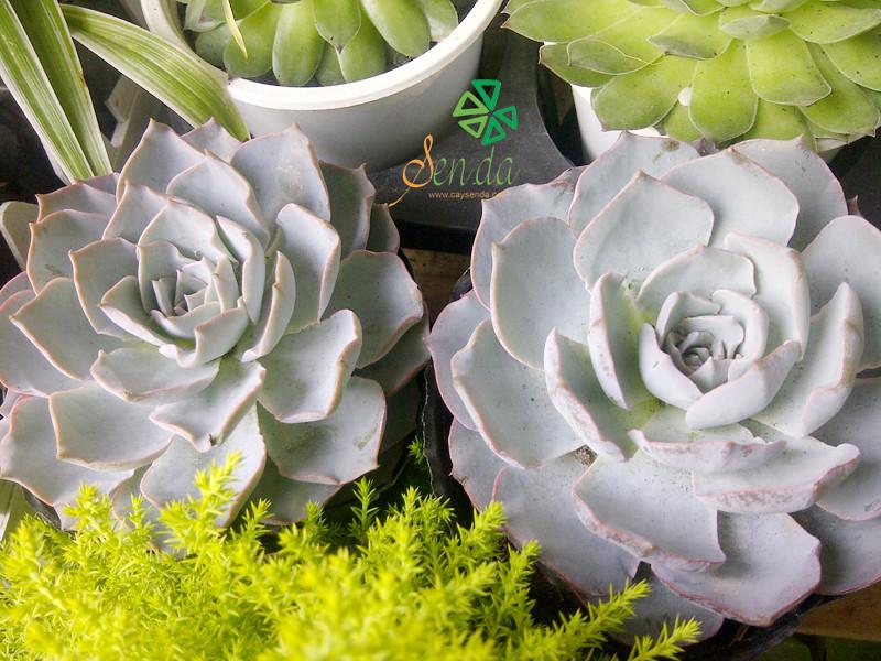 caysenda.com | sen da | xuong rong | tieu canh sen da | art plant | terrarium | sen chuoi ngoc vang
