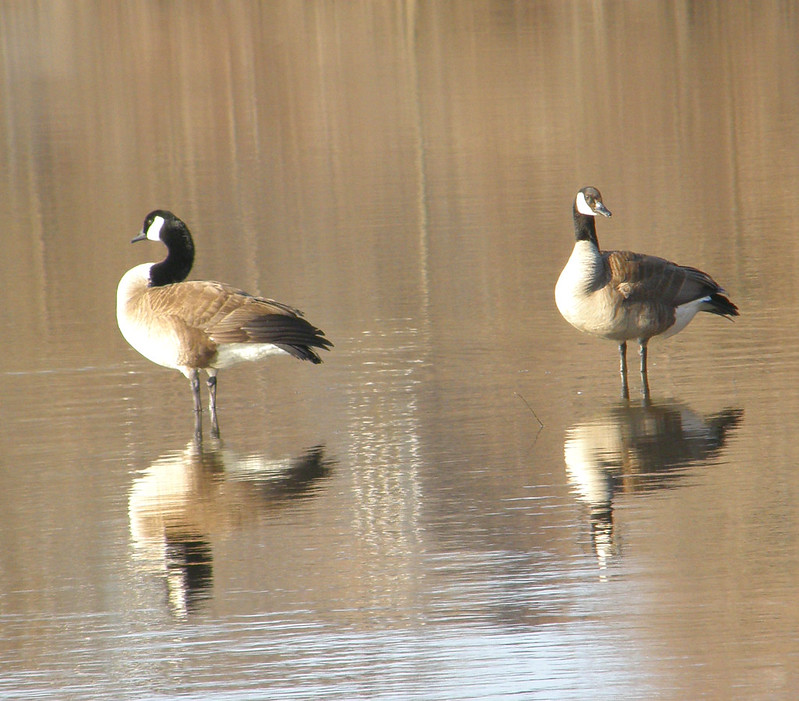 Geese and  shadows in a shallow lake