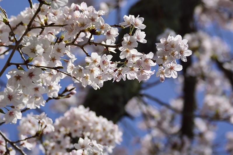 桜の京都 哲学の道