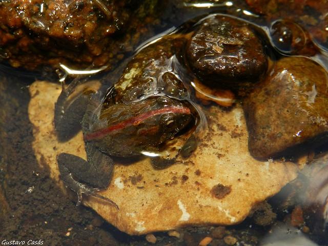 Macaquito (Pseudopaludicola falcipes)