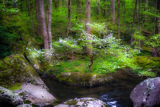 Dogwood on the Middle Prong of the Little River