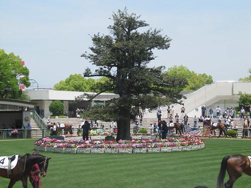 京都競馬場のパドックにある木