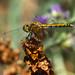 Dragonfly 4 wings by Karen McQuilkin